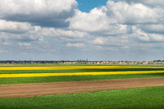 Field of oilseed rape. In spring Royalty Free Stock Photography