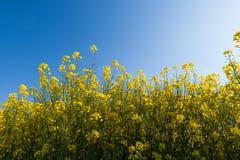 Field of oilseed rape Stock Image