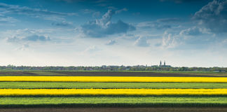 Field of oilseed rape. In spring Royalty Free Stock Photo