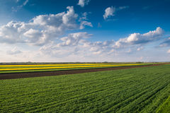 Field of oilseed rape. In spring Stock Images