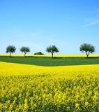 Field of oilseed rape. Spring yellow with blue sky Royalty Free Stock Photo