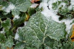 Field oilseed rape in winter. Frost on leaves. Stock Photo