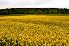 Field of oilseed rape Royalty Free Stock Image