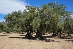 Field of old olive trees in Spain Royalty Free Stock Images