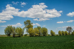 Field and old willows Stock Photo
