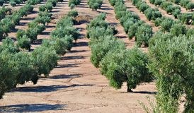 Field of olive Royalty Free Stock Image