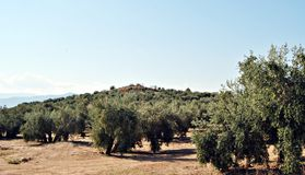 Field of olive Royalty Free Stock Photo