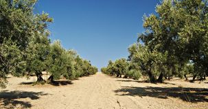 Field of olive of Jaen Royalty Free Stock Image