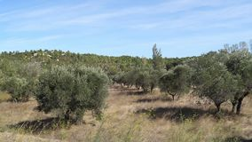 Field of Olive`s Trees near Maussane Les Alpilles in the South East of France,. Slow motion stock video