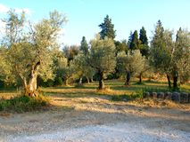 Field of olive trees Stock Photos
