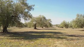 Field of Olive trees near Jaen, soft camera movement in 4k. Spain stock video footage