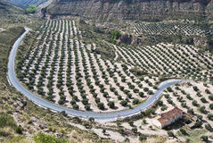 Field of olive trees and road. Given a field of olive trees and winding road in Andalusia Stock Image
