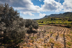 Field of olive trees and wine Stock Photo