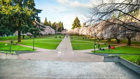 The Field onde Cherry Blossom Is At University de Washington imagem de stock royalty free