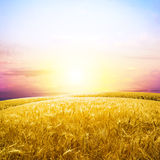 Field. One spica in yellow wheat field under nice blue cloud sky Stock Photography