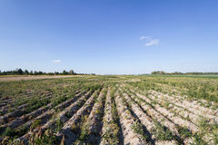 Field with onion. S before harvest Royalty Free Stock Images