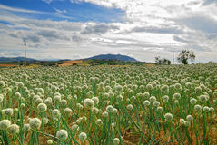 Field of onion Royalty Free Stock Image