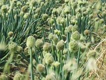 Field of onions Stock Photo
