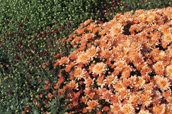 Field of open orange and closed red chrysanthemums Stock Photo