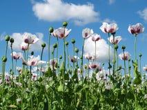 Field of opium poppy Stock Images