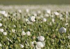Field of Opium Poppy (Papaver somniferum) Stock Images