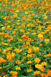 Field of orange flowers Stock Image