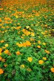 Field of orange flowers. Scenic view of orange flowers blooming in field Royalty Free Stock Images