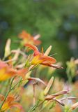 Field of orange lilies Royalty Free Stock Photo