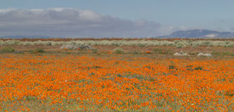 Field of Orange Poppies Stock Photography
