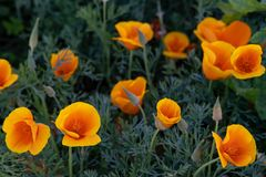 Field of orange poppy flowers. stock images