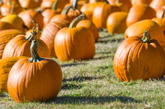 Field of orange pumpkins on grass. Rural field with orange pumpkins displayed for harvest Stock Photography