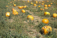 Field with Orange Pumpkins Stock Photos