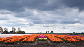Field with orange tulips Royalty Free Stock Photos
