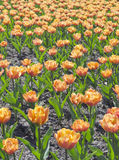 Field of orange tulips Stock Images