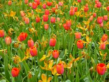 A field of orange tulips blooming Stock Photography