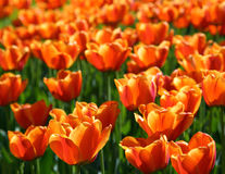 Field of orange tulips blooming Stock Photos