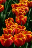 Field of orange tulips in Holland , spring time colourful flowers. Keukenhof park royalty free stock image