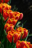 Field of orange tulips in Holland , spring time colourful flowers. Keukenhof park royalty free stock photos
