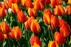 Field of orange tulips in Holland , spring time colourful flowers. Keukenhof park royalty free stock photography