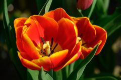 Field of orange tulips in Holland , spring time colourful flowers. Keukenhof park royalty free stock photo