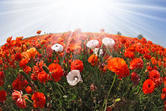The field of orange and white buttercups. Stock Images
