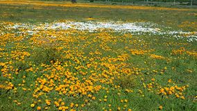 Field of orange and white flowers. A field of yellow and white flowers Royalty Free Stock Images