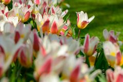 Field of orange white tulips in Holland , spring time colourful flowers. Keukenhof park royalty free stock photos