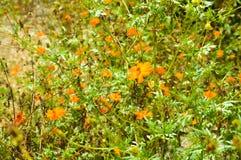 Field of Orange Wild Flower Papaver Atlanticum close up picture image Stock Images