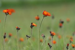Field of orange wildflowers Stock Images