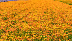 Field of Orange and yellow flowers Royalty Free Stock Image