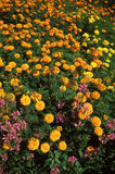 Field of orange and yellow Marigolds. Group of orange and yellow marigold flowers Royalty Free Stock Image