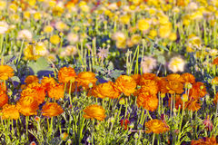 A field of orange-yellow peonies in blossom Stock Image