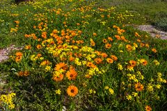 Orange and Yellow Daisy wildflowers in Spring Royalty Free Stock Photos