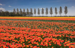 Field of orange and yellow tulips Royalty Free Stock Image